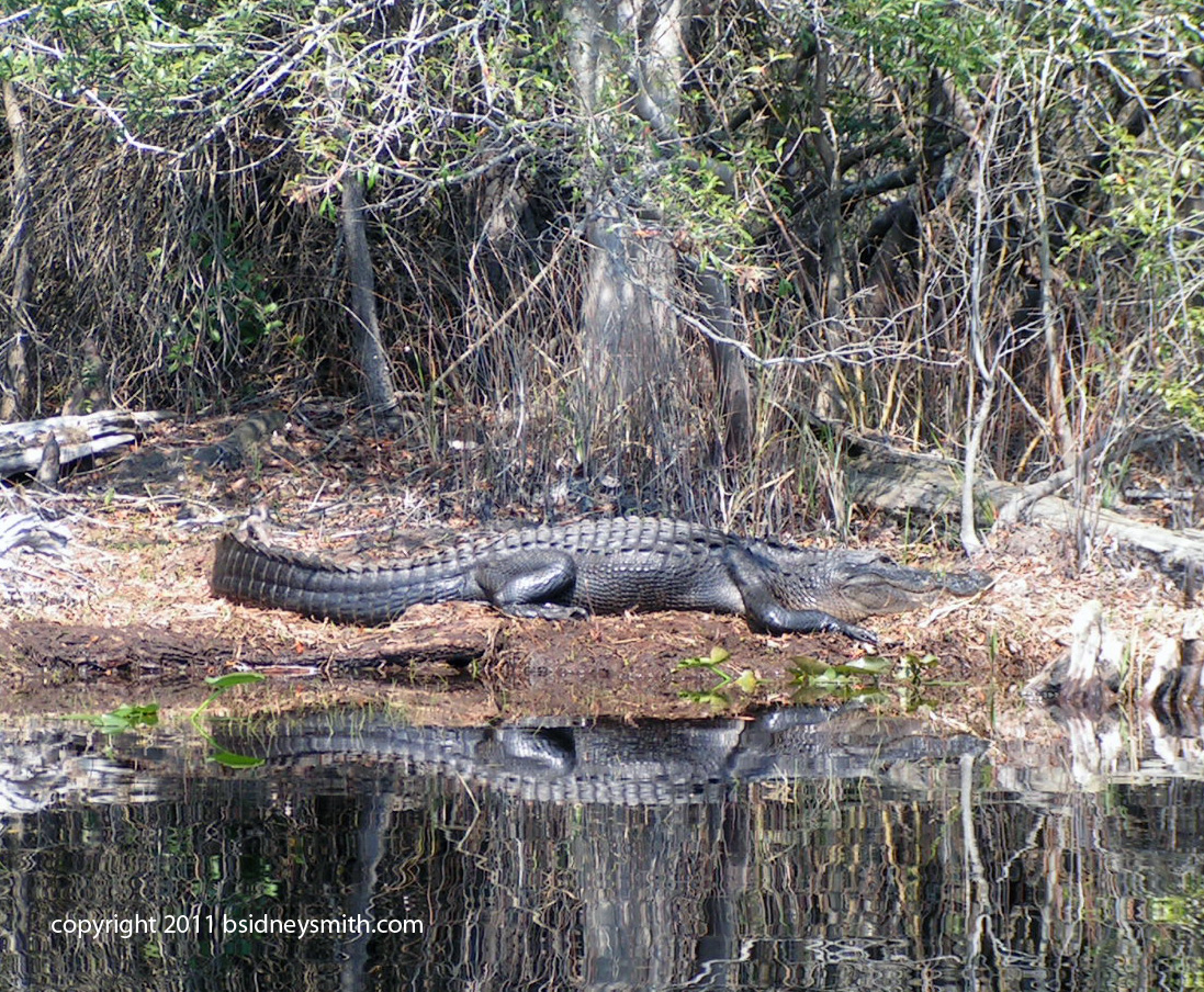 the first alligator