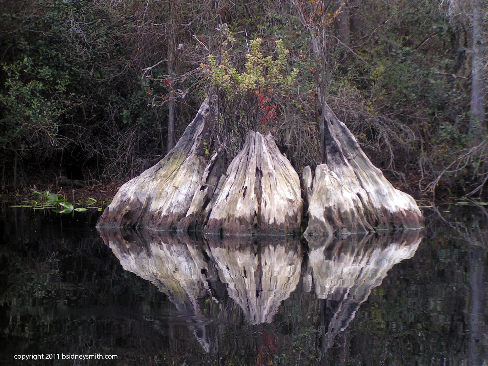 swamp tree stump with reflection